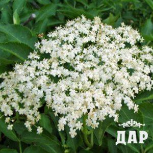 Бузина черная (цветки)