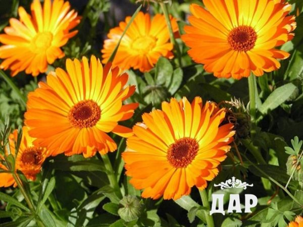 Календула (цветки)