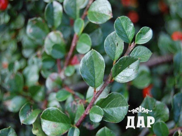 Брусника обыкновенная (листья)