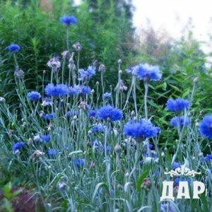 Василек синий (трава)