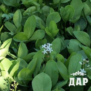 Вахта трехлистная (листья)