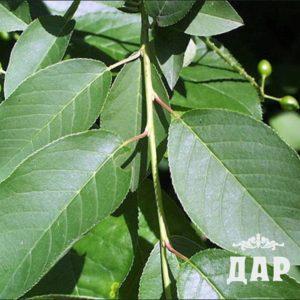 Вишня обыкновенная (листья)