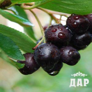 Арония черноплодная плоды