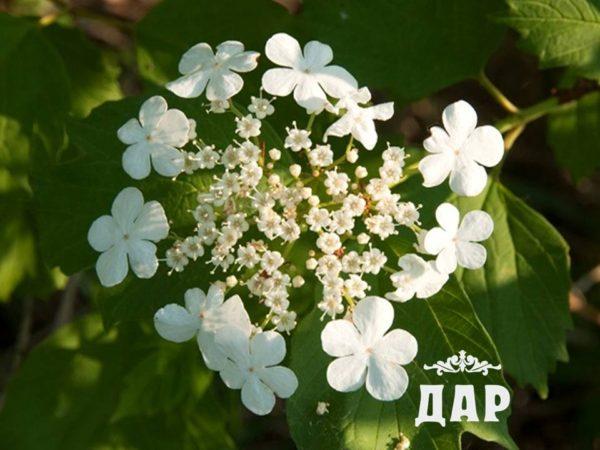 Калина (цветки)