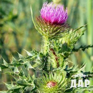 Бодяк полевой (осот розовый) трава