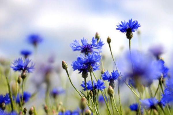 Василек синий (цветки)