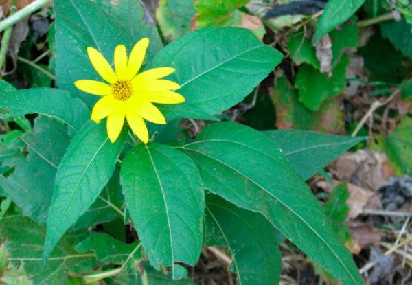 Топинамбур листья
